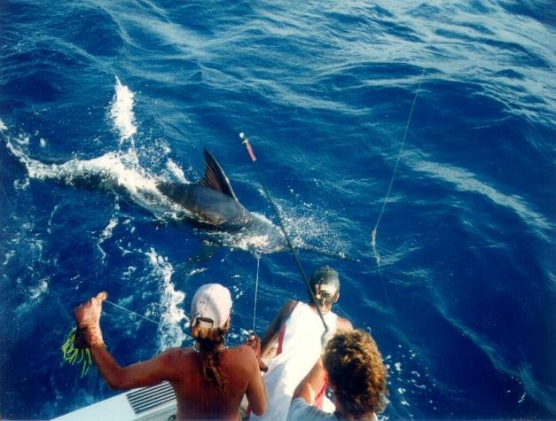 blue water marlin
